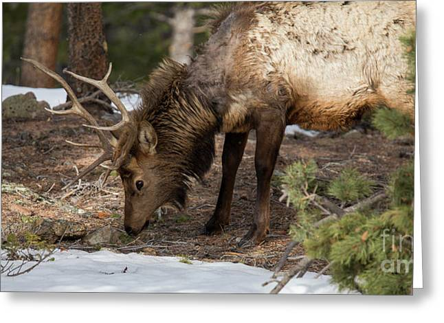 Elk Grazing In Rocky Mountain National Park Greeting Card