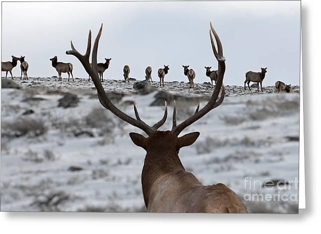 Elk Herd Greeting Card by Wildlife Fine Art