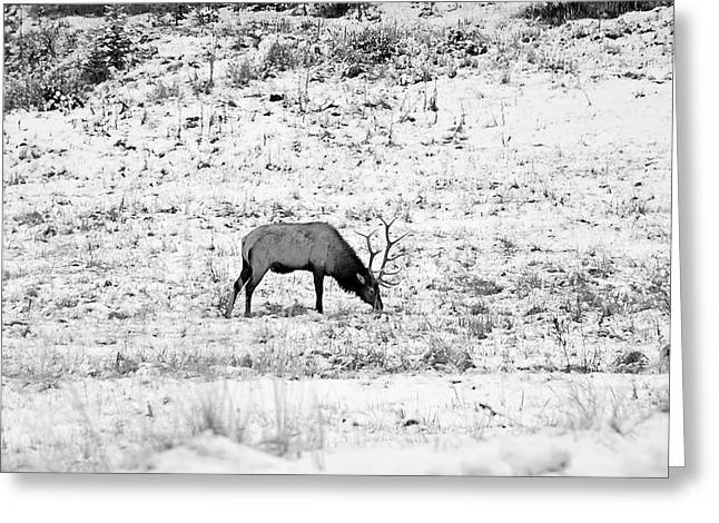 Elk In Black And White - Estes Park Greeting Card