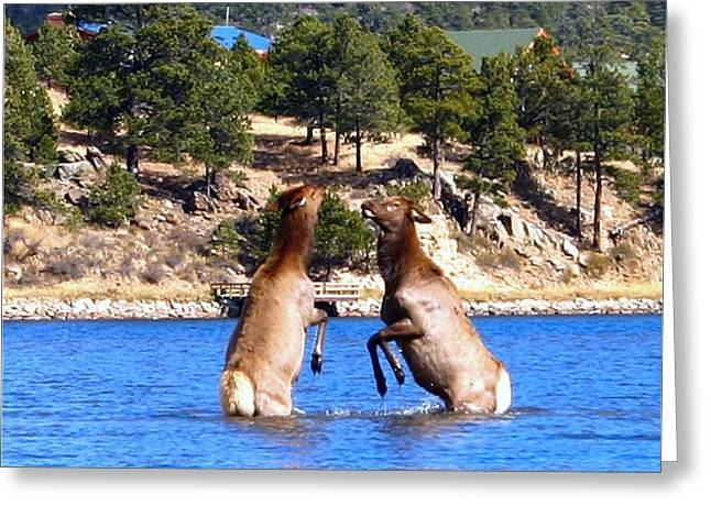Elk In Lake Estes Greeting Card