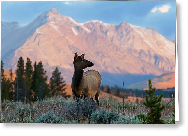 Elk Majesty Greeting Card