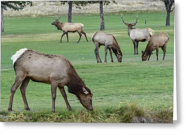 Elk On Golf Course Estes Park Colorado Greeting Card