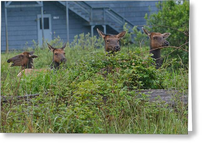 Elk Paparazzi Greeting Card by Fraida Gutovich