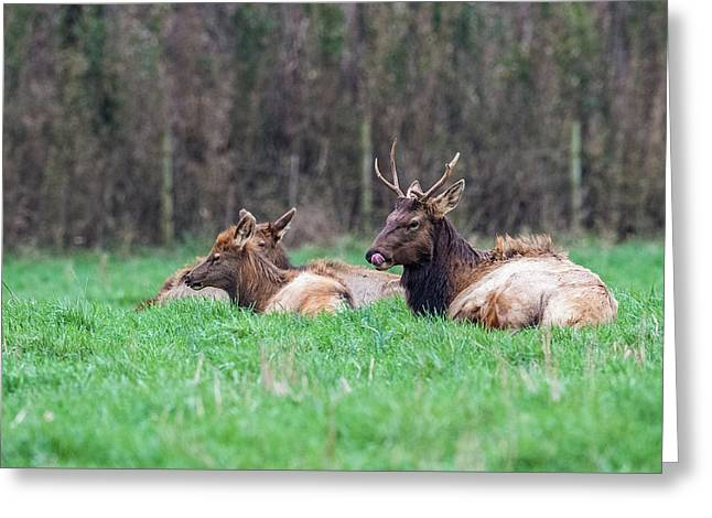 Greeting Card featuring the photograph Elk Relaxing by Paul Freidlund