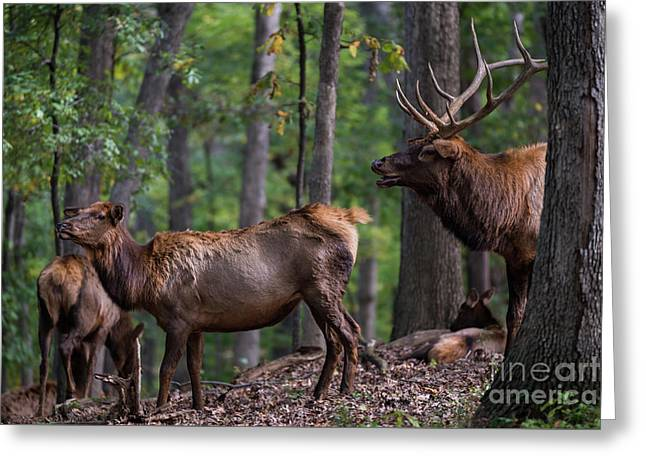 Elk Romance Greeting Card