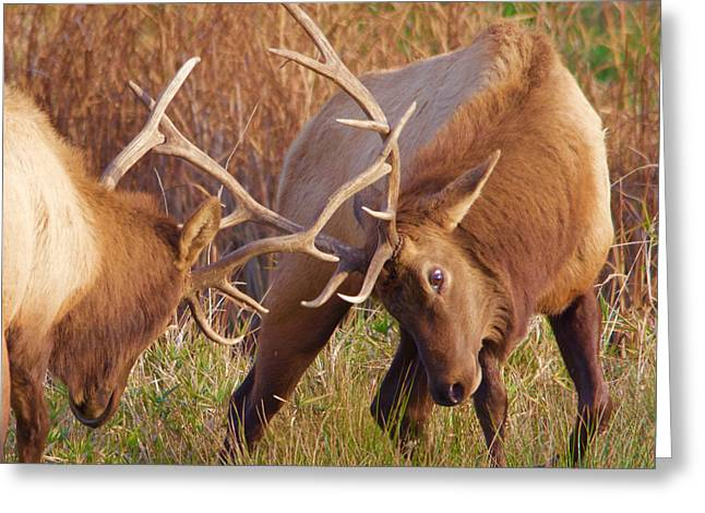 Greeting Card featuring the photograph Elk Tussle by Todd Kreuter