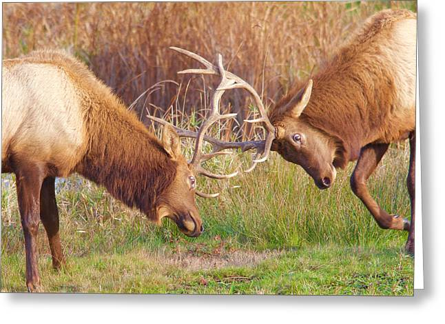 Greeting Card featuring the photograph Elk Tussle Too by Todd Kreuter