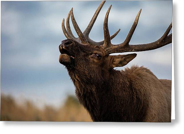 Elk's Screem Greeting Card by Edgars Erglis