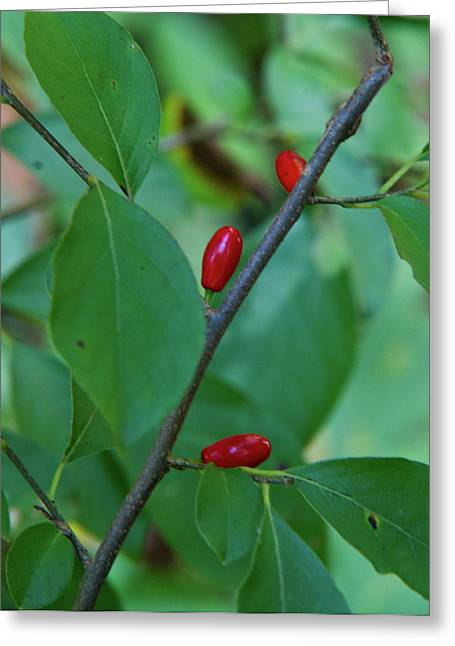 Satisfaction Greeting Cards - Elliptical Red Seed Pods Greeting Card by Douglas Barnett