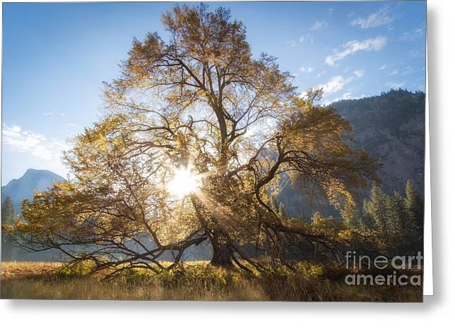 Elm Tree  Greeting Card