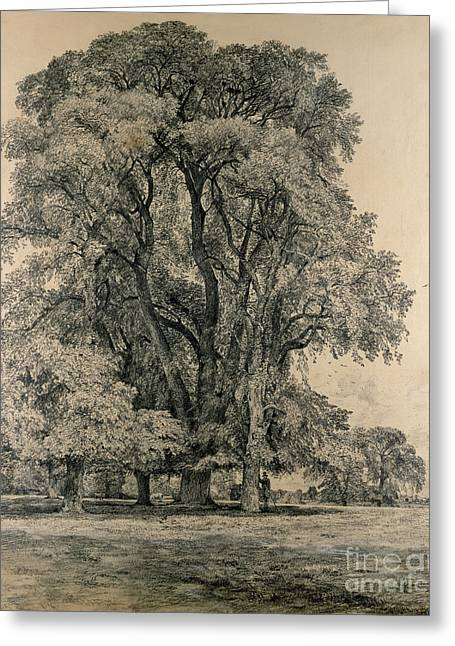 Elm Trees In Old Hall Park Greeting Card