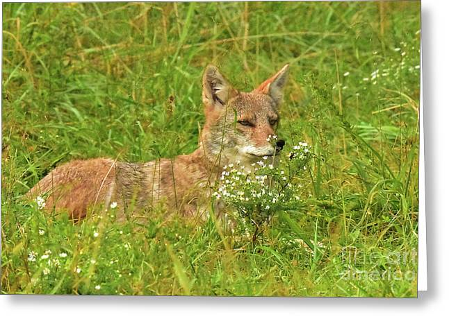 Elusive Coyote Greeting Card by Gary Walker