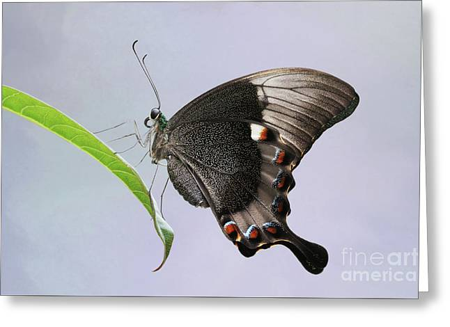 Emerald Peacock Swallowtail Butterfly V2 Greeting Card