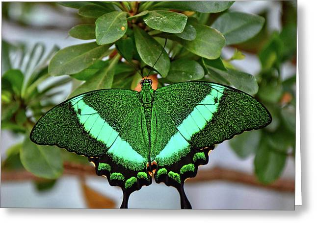 Emerald Swallowtail Butterfly Greeting Card by Ronda Ryan