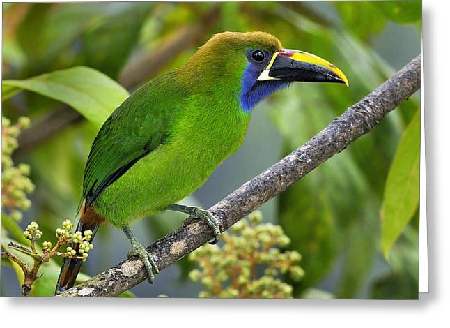 Neotropics Greeting Cards - Emerald Toucanet Greeting Card by Tony Beck