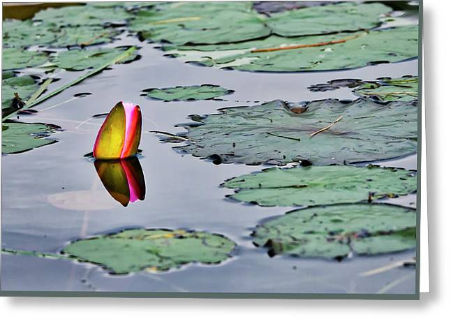 Emerging Water Lily Greeting Card