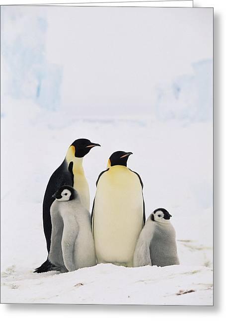 Emperor Penguin Aptenodytes Forsteri Greeting Card by Konrad Wothe