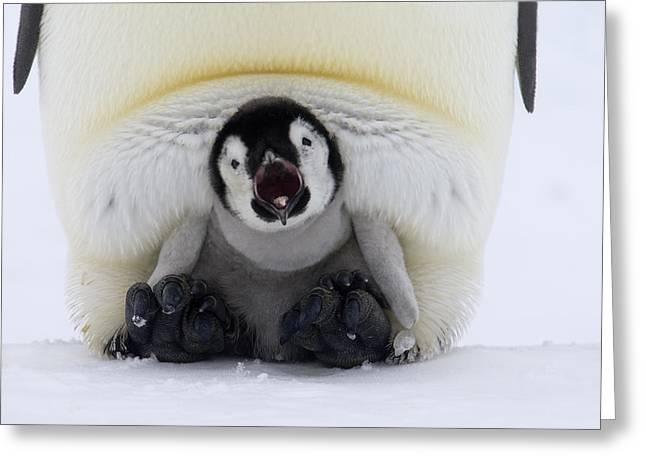 Emperor Penguin Aptenodytes Forsteri Greeting Card by Rob Reijnen