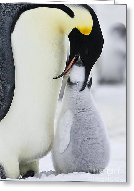Emperor Penguin Feeding Chick Greeting Card by Jean-Louis Klein & Marie-Luce Hubert