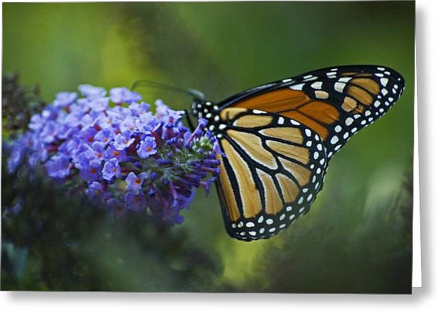 Greeting Card featuring the photograph Enchanting Monarch by Elsa Marie Santoro