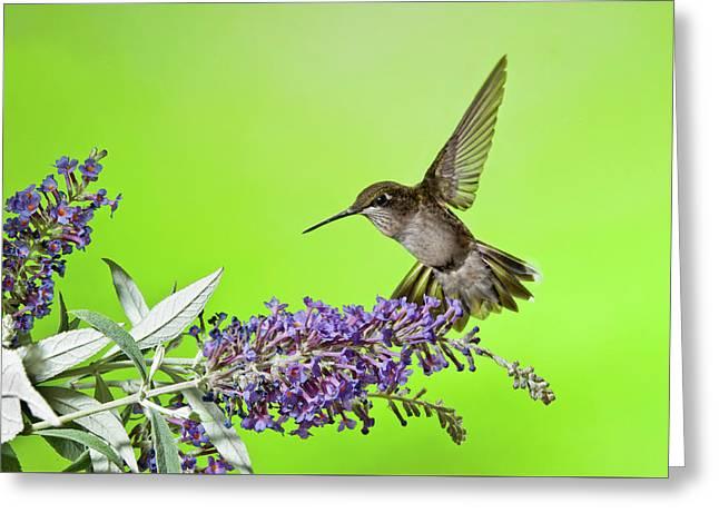 End Of Summer Hummingbird 2016 Greeting Card by Lara Ellis