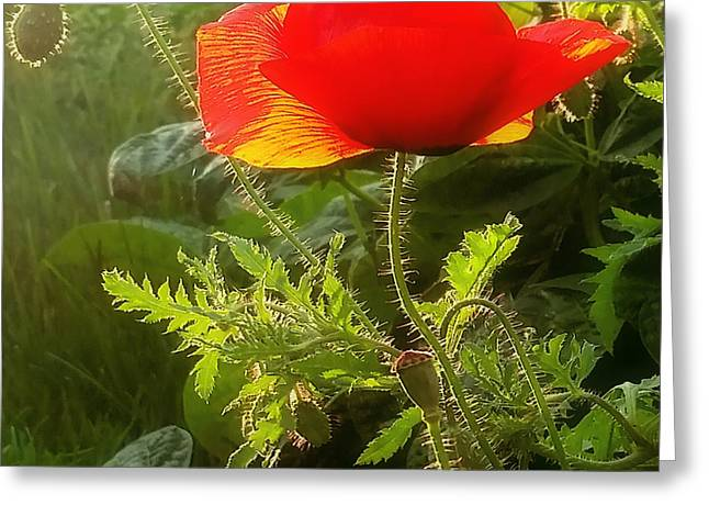 Red Poppy At Sunset Greeting Card