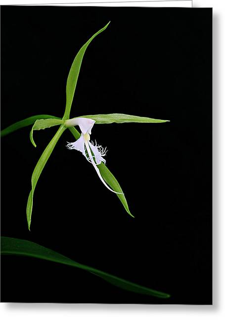 Endemic Orchid-st Lucia Greeting Card by Chester Williams