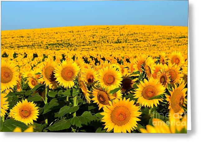 Endless Sunflowers Greeting Card by Catherine Sherman