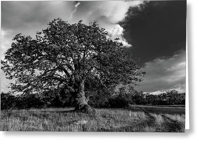 Engellman Oak Palomar Black And White Greeting Card