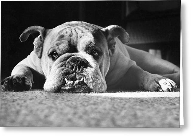 Canid Greeting Cards - English Bulldog Greeting Card by M E Browning and Photo Researchers