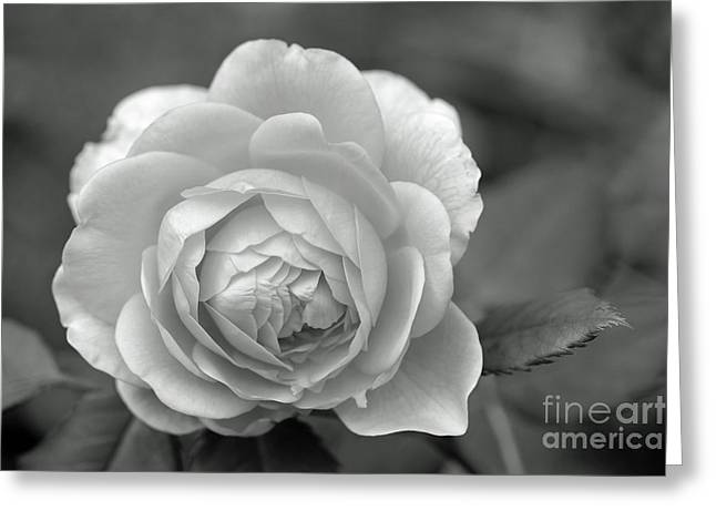 English Rose In Black And White Greeting Card