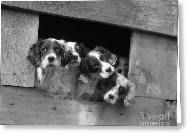 English Setter Puppies, C.1920-30s Greeting Card