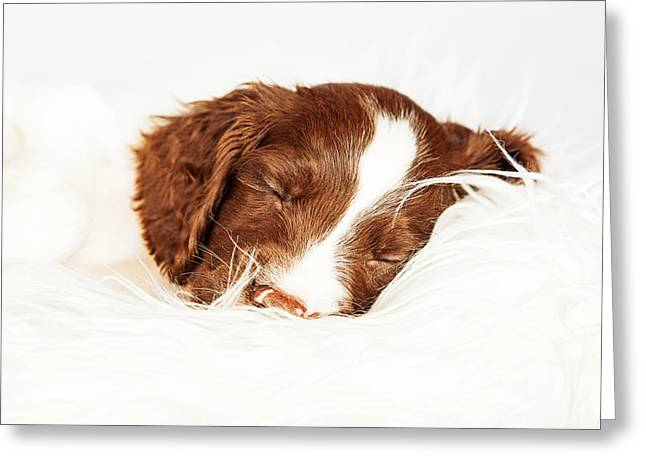 English Springer Spaniel Puppy Sleeping On Fur Greeting Card by Susan Schmitz