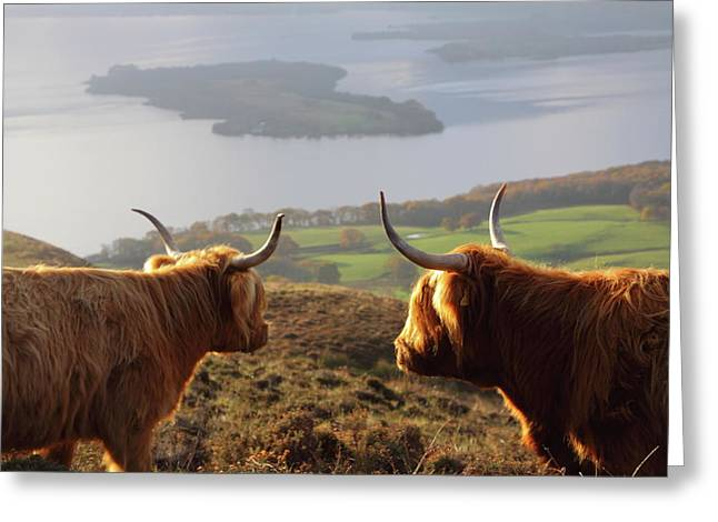 Enjoying The View - Highland Cattle Greeting Card