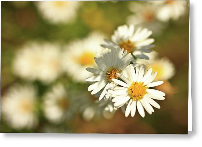 Erigeron Annuus Daisy Like Wildflower Greeting Card