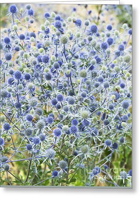 Eryngium Tripartitum Flowers Greeting Card by Tim Gainey