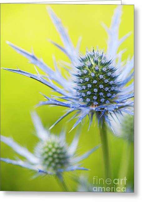 Eryngium X Oliverianum Flowering Greeting Card by Tim Gainey