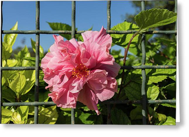 Escape Artist - Double Hibiscus Through The Fence Greeting Card