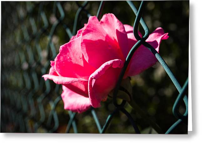 Escaping Rose Greeting Card