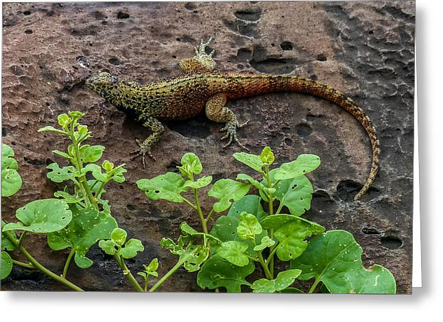 Espanola Lava Lizard Greeting Card by Harry Strharsky