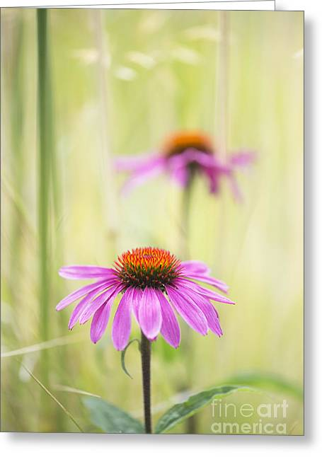 Essence Of Echinacea Greeting Card by Tim Gainey