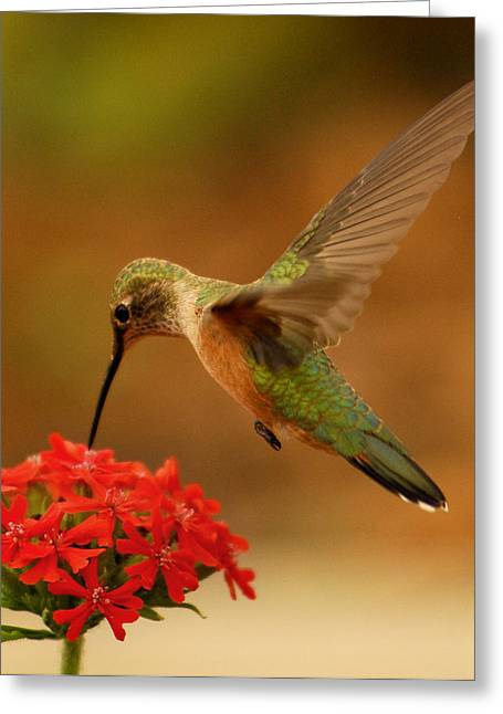 Estes Park Hummng Bird Greeting Card by Don Wolf