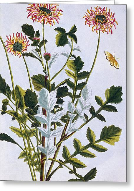 Ethiopian Arcotis  African Lily Greeting Card by Pierre-Joseph Buchoz