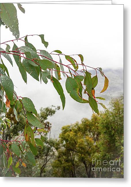 Eucalyptus Leaves Thawing Greeting Card by Lexa Harpell