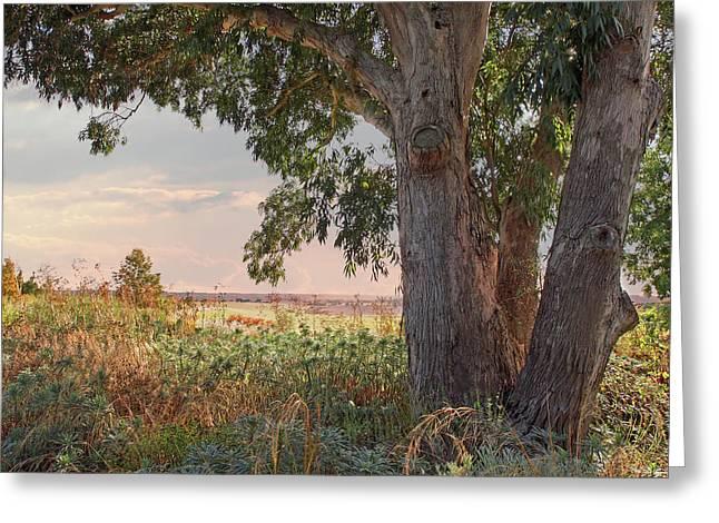 Eucalyptus Tree In Autumn Evening Light Greeting Card