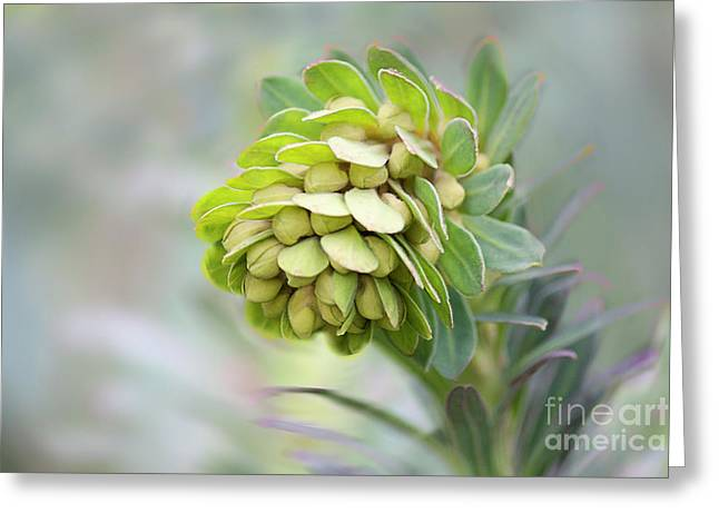 Euphorbia Greeting Card