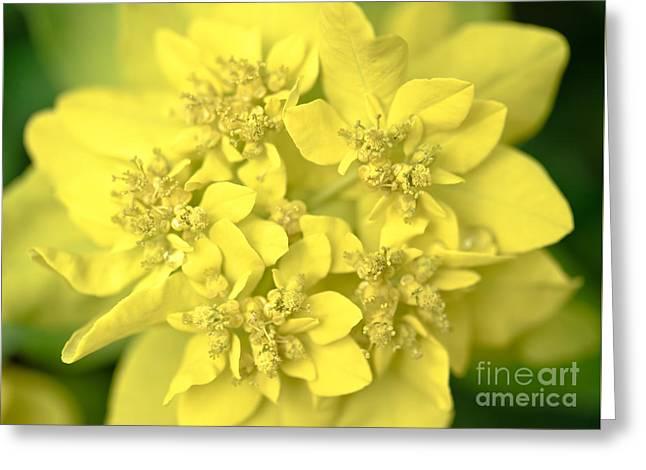 Euphorbia Macro Greeting Card by Alexander Kunz
