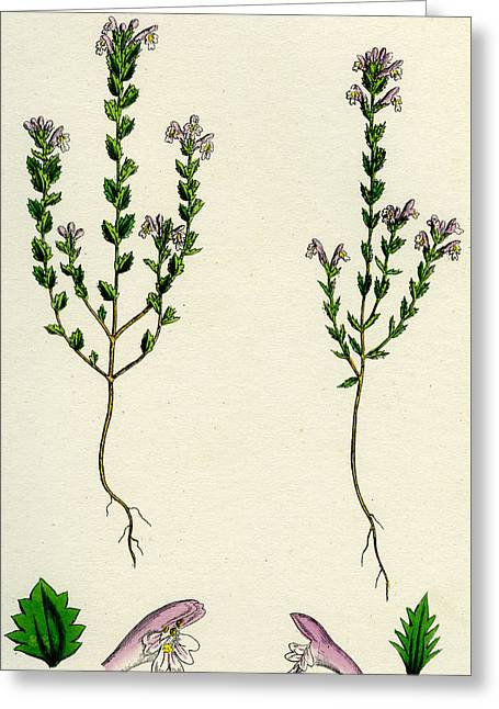 Euphrasia Or Eyebright Greeting Card by Unknown