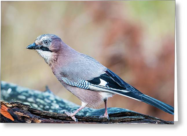 Eurasian Jay In Profile Greeting Card by Torbjorn Swenelius