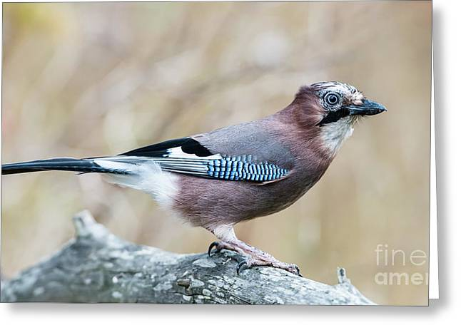 Eurasian Jay  Greeting Card by Torbjorn Swenelius